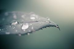 DSC_3735 (Stacey Conrad) Tags: d7500 macro nikon pa summerfield willowstreet water waterdrop rain leaf