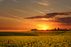Rapseed sunset (Adrian Mitu) Tags: rapseed sunset sun fields agriculture airplane trails clouds sky romania travel landscape