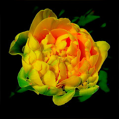 she loves the nitelife, she's got to boogie... (milomingo) Tags: flower plant nature neon closeup vivid bright bold square tulip bulb spring peonytulip yellow a~i~a psychedelic trippin bloom petal green black onblack blackbackground photoart horticulture botanical vibrant floral
