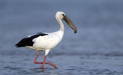 Open billed stork (arunprasad.shots) Tags: ngc explore pulicat shore stork openbill waterbird catch oyster feed