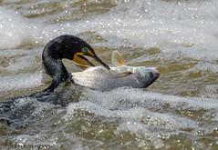 Double-crested Cormorant with fish. (Estrada77) Tags: doublecrestedcormorant ducks wildlife spring2018 may2018 nikon nikond500200500mm outdoors illinois kanecounty