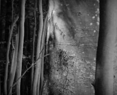 Texture of the forest (Landanna) Tags: textureoftheforest texture black bw white wit zwart zw sort hvid trees træ bomen nature natur natuur detail lyrical minimalism