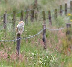 Barn Owl (Steve (Hooky) Waddingham) Tags: bird british barn countryside nature wild wildlife prey photography