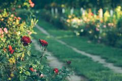 A green, green grass of home (Inka56) Tags: 7dwf flora roses flowers path goldenhour garden supertakumar255 oldlens manualfocus bokeh