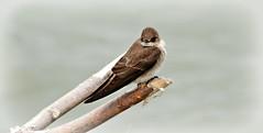 Barn swallow. (Dan A. Cetinic.) Tags: sony birds