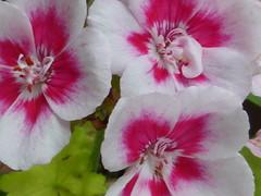 Γεράνι!!  P1040967 (amalia_mar) Tags: flowers flora fiori fleur geranium spring sundaylights macromademoiselle