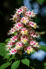 untitled-856 (Ariel Novoplansky) Tags: alps francetrip frenchalps lyon rhone france2018 horse chestnut inflorescence flowers