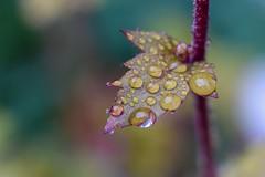 Raindrops (agnieszka.a.morawska) Tags: bkhq rain spring garden nature helios helios44m heuchera raindrops