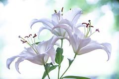 lily 6367 (junjiaoyama) Tags: japan flower plant lily white spring bokeh