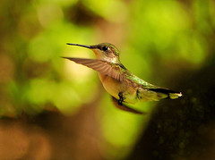 Pretty Little Hummer (LupaImages) Tags: bird hummer hummingbird feathers beak small tiny fly flutter nature wild wildlife summer outdoors outside suzann