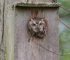 Grey morph -screech (Marlene Legge) Tags: owl