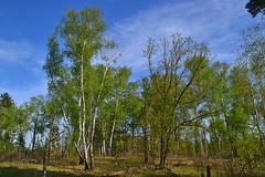 Glade with birches and oaks (МирославСтаменов) Tags: russia togliatti glade forest birch oak tree spring edge sky cirrus