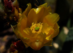 The Light of Day (oybay©) Tags: pricklypear pricklypearcactus yellow suncitywest arizona unique unusual nightbloom night cactusflower cactus flower flora fiori blumen argentinegiant macro upclose color colors white whiteflower light greatshot coolshot cool removedfromstrobistpool nostrobistinfo seerule2