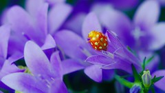 Halyzia (YᗩSᗰIᘉᗴ HᗴᘉS +15 000 000 thx) Tags: halyzia bug insect flower macro hensyasmine namur belgium europa aaa namuroise look photo friends be wow yasminehens interest intersting eu fr greatphotographers lanamuroise tellmeastory flickering