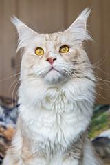 Pablo looking up (Tambako the Jaguar) Tags: cat domestic mainecoon male beige white cream tabby portrait posing sitting cute eyes fällanden zürich switzerland nikon d5 explore