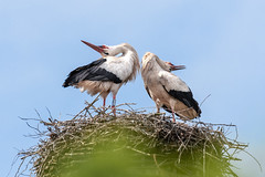 Welcome Home (CJH Natural) Tags: stork whitestork weisstorch storch migration migrate nesting family nest welcome love return welcomehome pair romantic parents greet greeting dance