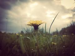 herzergreifend (***étoile filante***) Tags: blume natur flower nature macro dof meadow wiese sunlight sunshine sky himmel wolken clouds löwenzahn