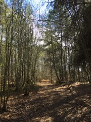 Wander in the woods (BurnThePlans) Tags: woods forest walk trees pine birch sun nature