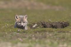 The irresistible face of innocence (shimmeringenergy) Tags: fox renard redfox renardroux vulpesvulpes kit canoneos7dmarkii ef100400f4556lisiiusm