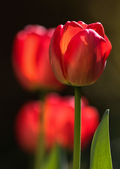 Tulip Tetrachord (AnyMotion) Tags: tulpe tulip tulipa tetracord quadruple vierklang blossom blüte petals blütenblätter sunlight sonnenlicht leaf blatt bokeh 2018 floral flowers blumen plants pflanzen anymotion frankfurt garden garten spring frühling primavera printemps natur nature colours colors farben red rot 7d2 canoneos7dmarkiii