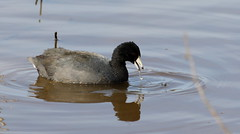 American Coot (emmaellathomas) Tags: americancoot huntleymeadows water nature bird