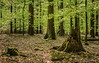 Nordheide - Buchenwald - Klecker Wald (2) (Pana53) Tags: photographedbypana53 pana53 naturundlandschaftsfotografie naturfoto wald bäume laubbäume buchenwald buchen grün transparent kleckerwald nordheide vogelstimmen blattgrün leuchtend waldboden baumstamm nikon nikond810 sommer sonne spaziergang waldwege waldspaziergang natur flora florafauna holz baum