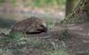 Hedgehog-Erinaceus europaeus. (PANDOOZY PHOTOS) Tags: europeanhedgehog hedgehog mammal mammals animal animals erinaceinae eulipotyphla erinaceuseuropaeus erinaceidae uk gb wildlife nature wild