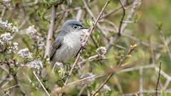 Blue-gray Gnatcatcher (Bob Gunderson) Tags: birds bluegraygnatcatcher california gnatcatchers northbay northerncalifornia pineflatroad polioptilacaerulea somonacounry