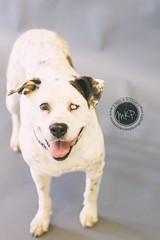Helen (Pet Haven) Tags: pitbullterrier helen michellekrohnphotography professionalphotos studiophotos