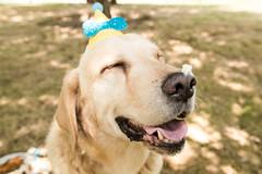 ¡Pastelazo! (gyogzz) Tags: photo photographie photoshoot dog can labrador smash cake canon 80d