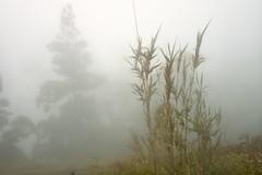 Foggy Day Outside the Gorreana Tea Plantation (Morteana) Tags: azores teaplantation fog