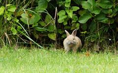 Happy Bunny (sea turtle) Tags: bunny rabbit bunnies rabbits langley whidbeyisland whidbey island animals animal cute fluffy outdoors washington washingtonstate northwest pacificnorthwest ears rabbitears