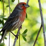 Red Finch thumbnail