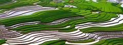 Viet Nam terraced rice fields (trai_thang1211) Tags: fields field nhifoto plantation plant ricefield caophạ yênbái vietnam vn