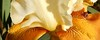 Light yellow and bronze iris  cropped (Martin LaBar (going on hiatus)) Tags: southcarolina pickenscounty iris iridaceae irisdomestica lirio waterdrops
