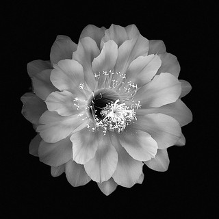 Flying Saucer Cactus Flower