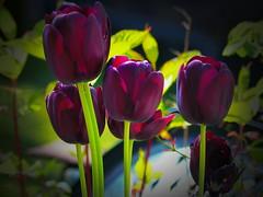 Tulips by Night (caren (Thanks for 3Mio+ views)) Tags: tulips purple flora springtime 7dwf makemesmile