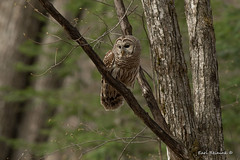 Barred Owl / spring woods (Earl Reinink) Tags: owl raptor predator bird animal nature wildlife trees woods forest outdoors earl reinink earlreinink barred barredowl raztaaodza