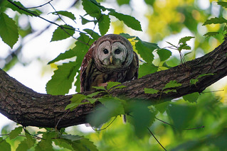 A Barred Owl near the Nature Center in Rock Creek Park, Washington DC