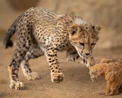 Go Jabula! (Penny Hyde) Tags: bigcat cheetah cheetahcub cub friends pals sandiegozoo