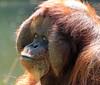 orangutan Kevin Apenheul BB2A1423 (j.a.kok) Tags: orangutan orangoetan orang animal asia azie ape apenheul aap mammal monkey mensaap primaat primate zoogdier dier kevin