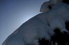 Another Branch Holding Snow (Bracus Triticum) Tags: another branch holding snow calgary カルガリー アルバータ州 alberta canada カナダ 3月 弥生 さんがつ yayoi newlifemonth 2018 平成30年 spring march 三月 sangatsu