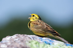 yellowhammer @ Auwald Leipzig 2018 (Jan Rillich) Tags: diegoldammer emberizacitrinella vogelart ammer emberizidae passerinebird bird bunting jan rillich janrillich picture photo photography foto fotografie eos digital wildlife animal nature beautiful beauty sunny sun fauna flora free animalphotography auwald auenwald aue elster leipzig image 2018 mai 5dmarkiii yellowhammer canon100400mm