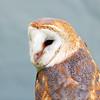 Barn Owl Portrait! (RiverCrouchWalker) Tags: barnowl bird rhs hydehall rhshydehall wildlifeweekend rettendon essex tytoalba barnowlportrait tethered