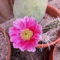 Flashy Pink Cactus Flower (jolee-mer) Tags: cactus pink flower cutting rooting pricklypear square terracotta pots dirt cacti prickles cholla