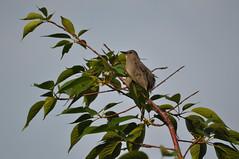 Gray Catbird (David.Sankey) Tags: birding birds birdingnyc rooseveltisland eastriver newyorkcity newyork nycbirding queens cabird graycatbird
