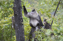 Black snub nosed monkeys. (richard.mcmanus.) Tags: china monkey blacksnubnosedmonkey yunnansnubnosedmonkey yunnan wildlife mcmanus animal primate 中國