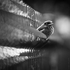 Petit oiseau dans le bokeh (Little Bird lost in Bokeh) (Gari VALDEN) Tags: bokeh bird oiseau noir et blanc black white monochrome canon 135 lens