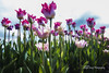 Tulip Dream in Pink-sonya lang (Sonya Lang Photography) Tags: skagitvalley tulips flowers spring blooms pink washington state pacific northwest tulip tulipfestival