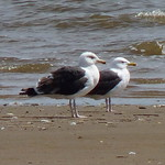 Great Black-backed Gulls thumbnail